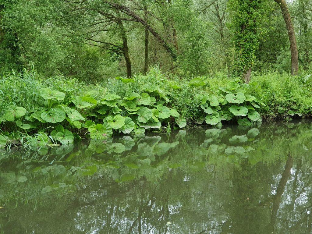 Gunnera Plants